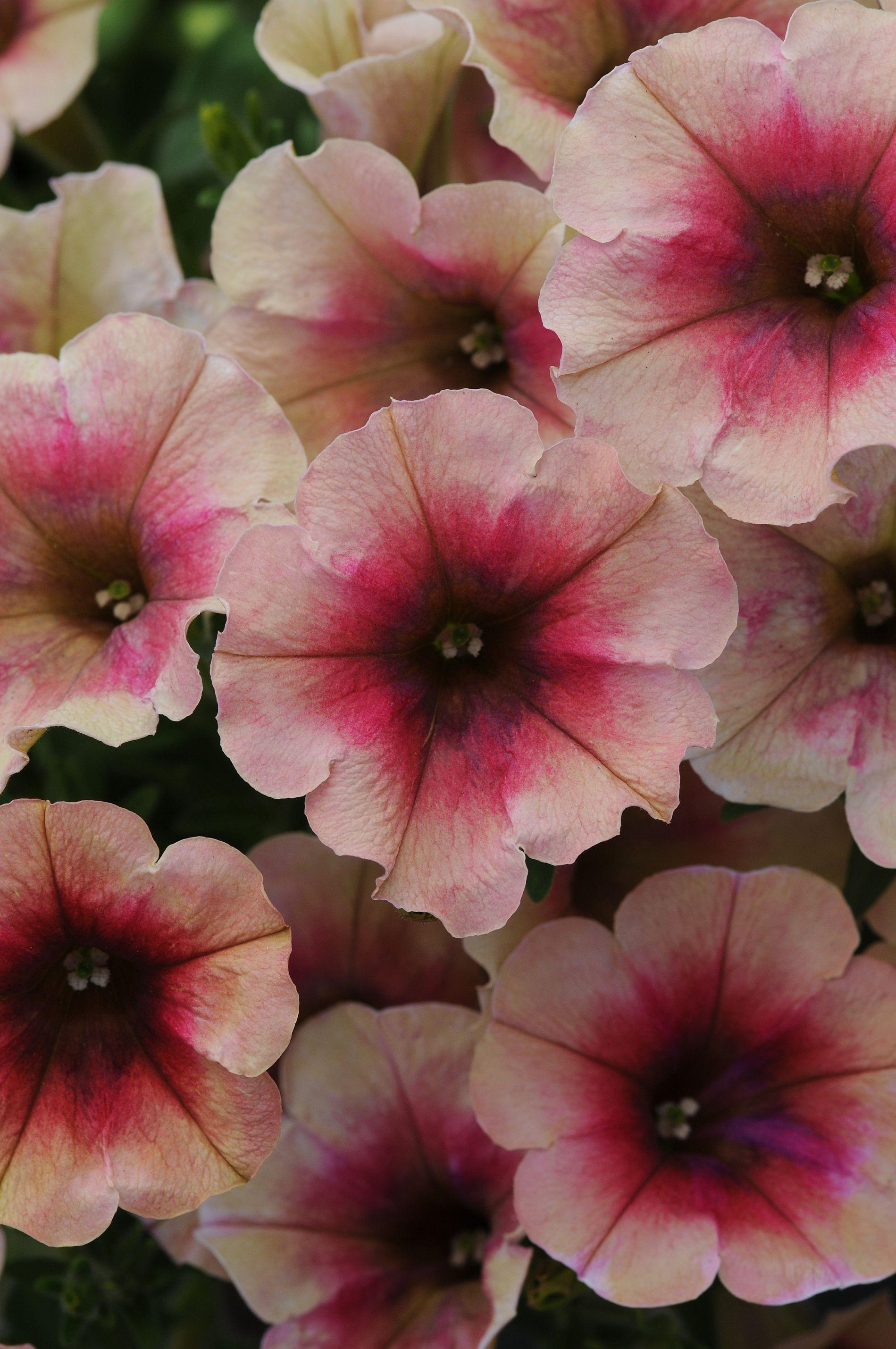 Petunia Suncatcher Vintage Rose Ball Horticultural Co Petunia Flower Petunias Flower Seeds