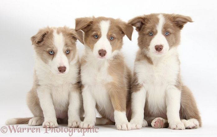 Three Lilac Border Collie Pups Border Collie Puppies Border Collie Puppy Training Dogs