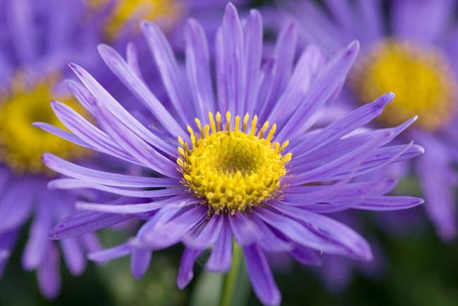 Aster Amellus Grunder Italian Asters September Birth Flower Birth Flowers Flower Quotes