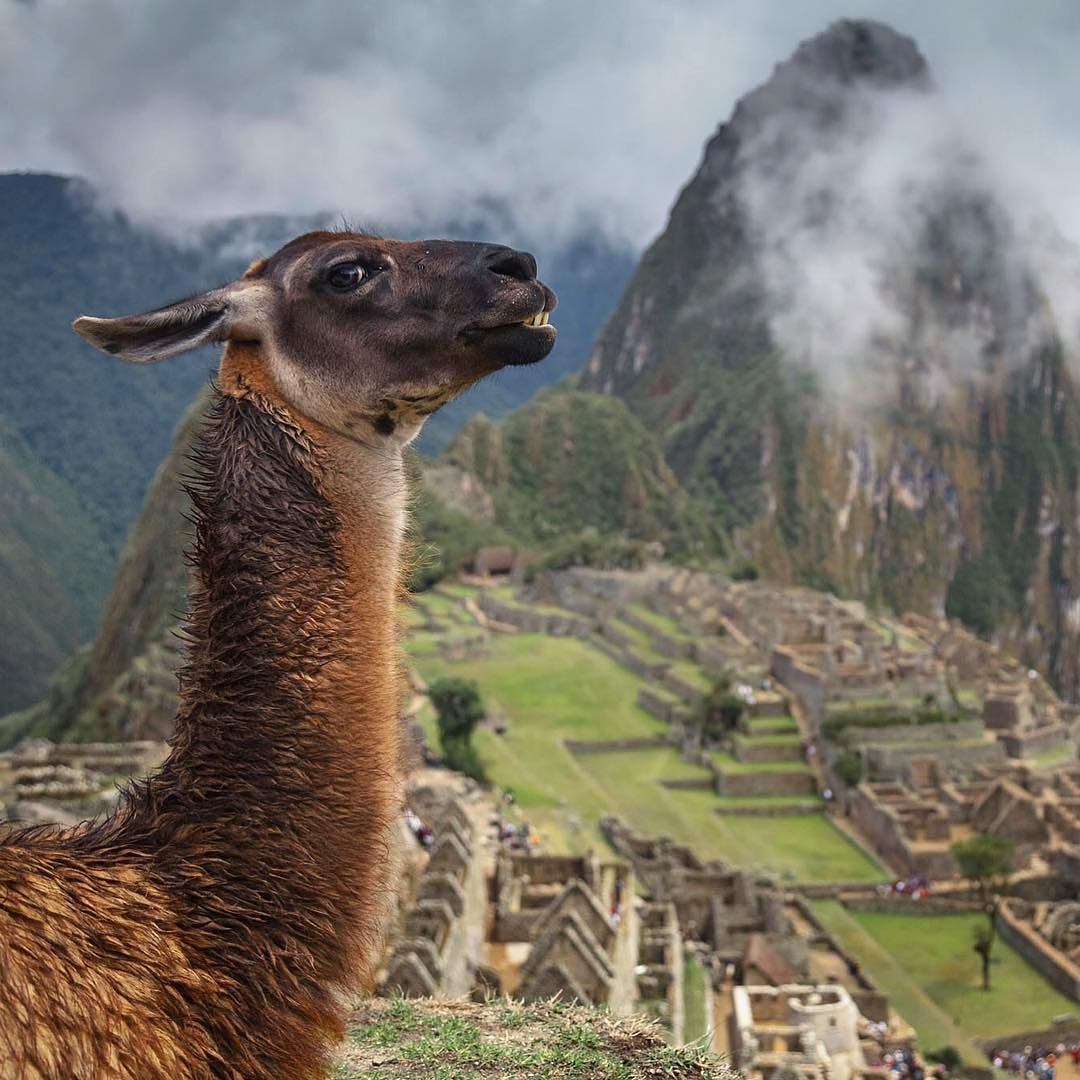 """""Get my good side."" Location: Machu Picchu, Peru.  Photo Credit @ed_norton"""