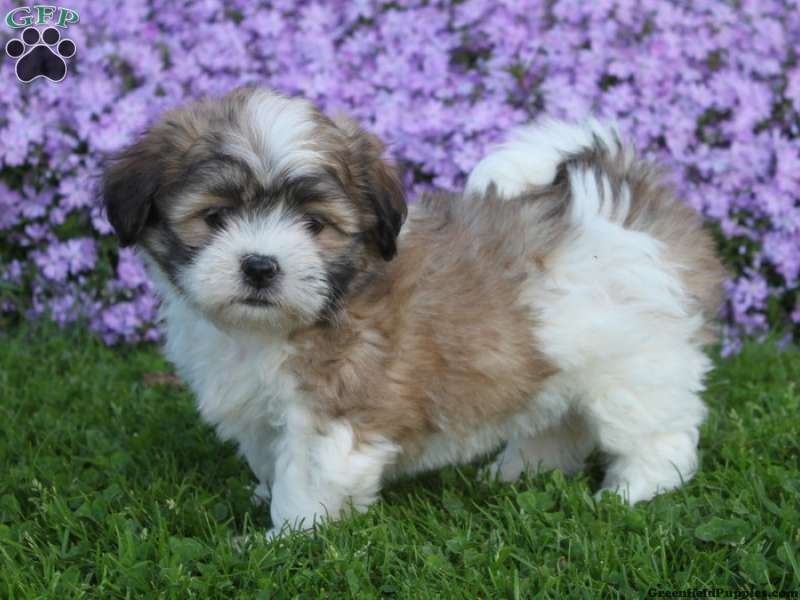 Bertha Shichon Puppy For Sale From Quarryville Pa Greenfield Puppies Greenfield Puppies Shichon Puppies Teddy Bear Puppies