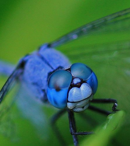 The dragonfly has the distinct honor of bearing compound eyes. Description from…