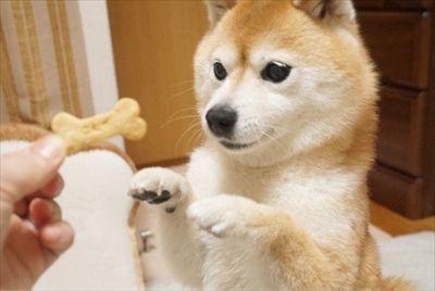 豆柴こむぎの部屋 可愛い 生き物 柴犬 犬