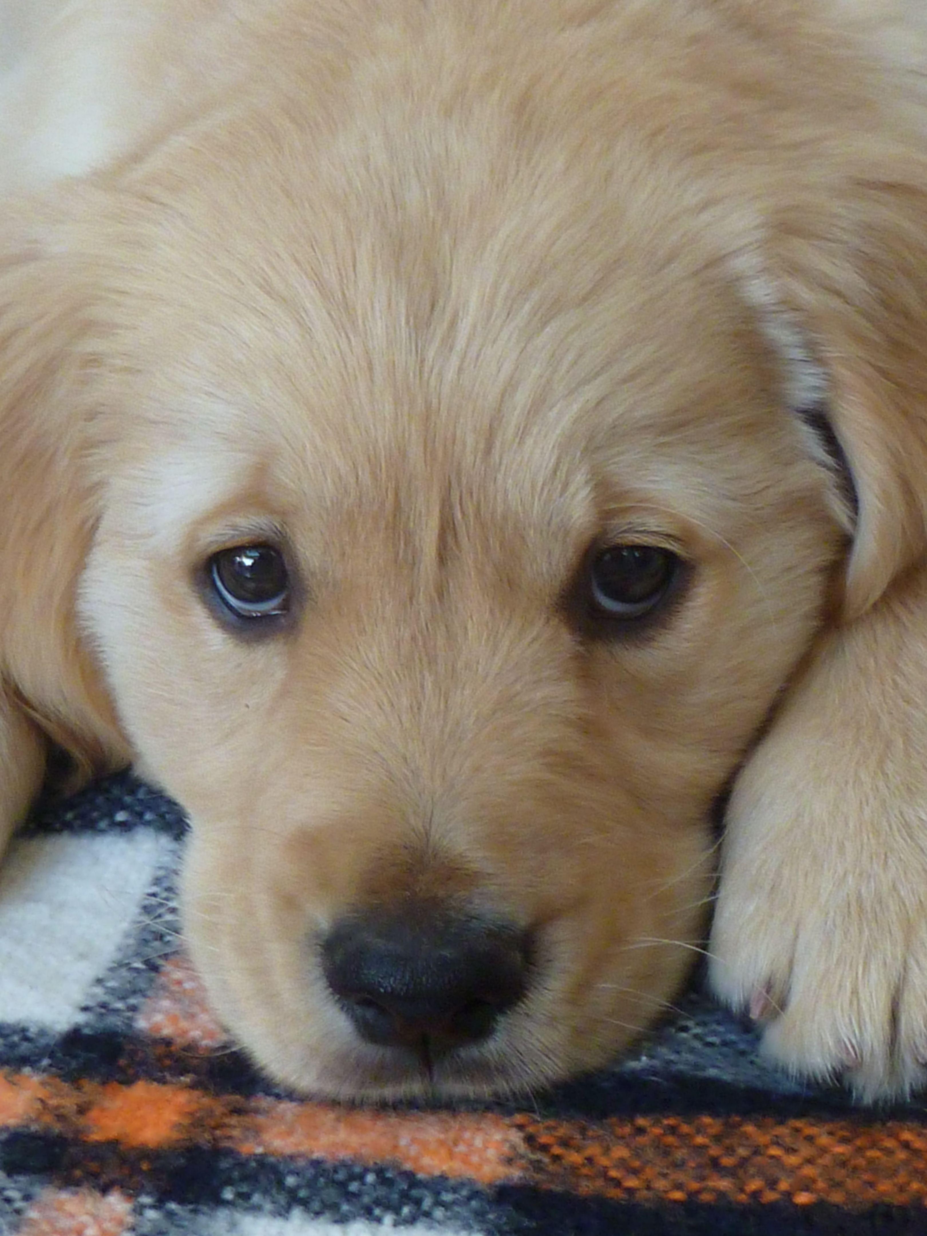 Alleen die blik al... Golden retriever, Best dogs for