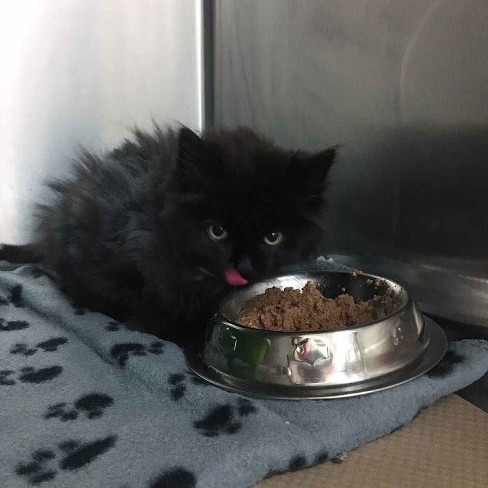A Little Ragged Looking Kitten Showed Up At A Family S Home Looking For Help And Something To Eat Meet Little Pumkin C Cute Black Kitten Small Kittens Kitten