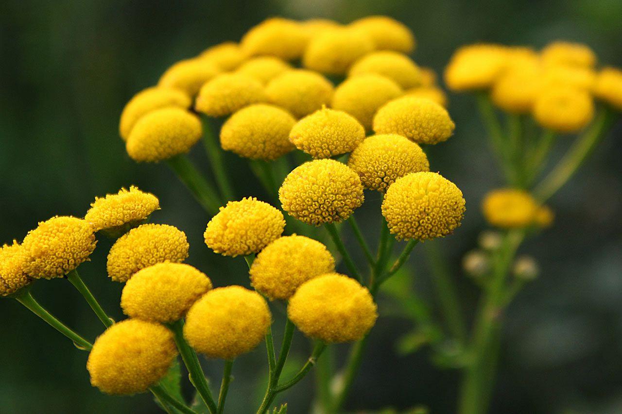 Tym Domowym Sposobem Usuniesz Kamien Na Zebach Medicinal Herbs Herbs Organic Seeds