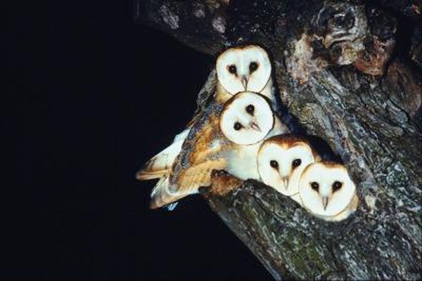 What Kind of Sound Does an Owl Make at Night? | Barn owl ...