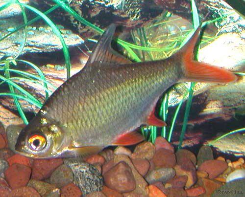 3 Tinfoil Barbs Donated To Friend Fish Aquarium Fish Freshwater Aquarium Fish