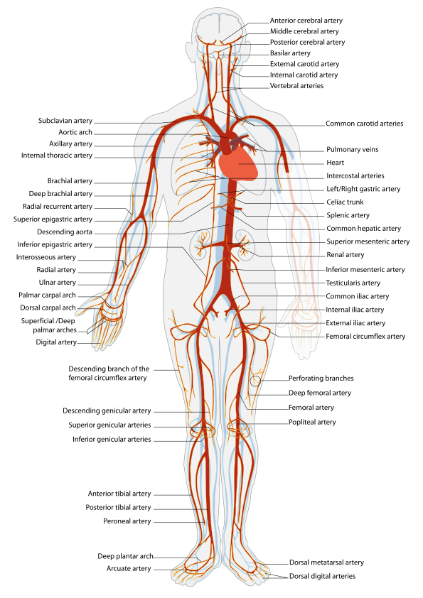 Arterial System En Artery Wikipedia The Free Encyclopedia