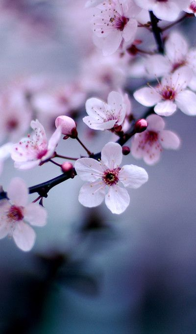 Cherry Blossoms   Flowers   Pinterest   Flower  Cherry blossoms and     Cheery blossoms are my favorite flower   MO