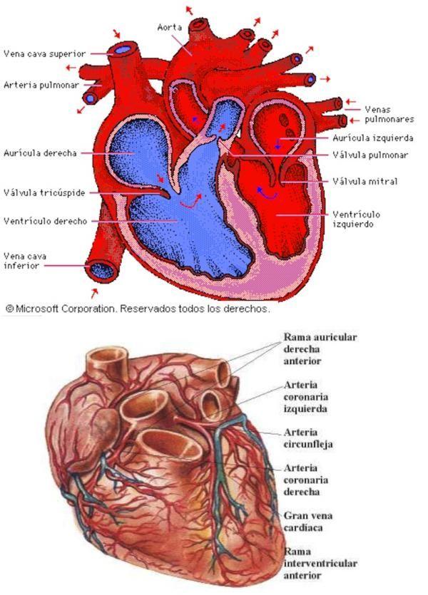 Cuáles son las partes del corazón | Anatomía | Pinterest | El ...