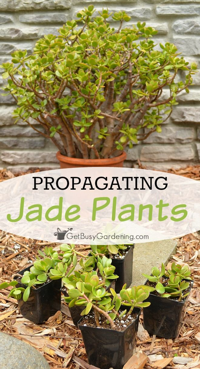 How To Propagate Jade Plant Cuttings Plant Propagation Pinterest