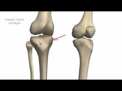 Anatomy Of The Knee Joint Articular Surface Menisci Knee