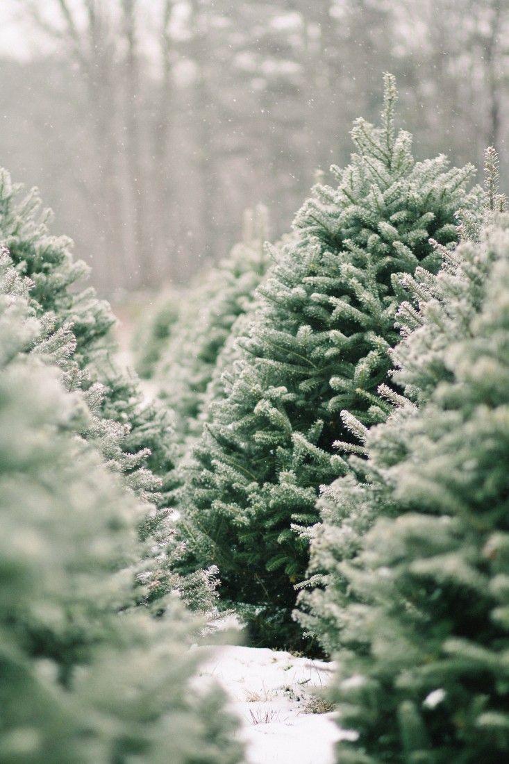Shopper S Diary A Christmas Tree Farm In Maine Gardenista Christmas Tree Farm Tree Farms Winter Christmas