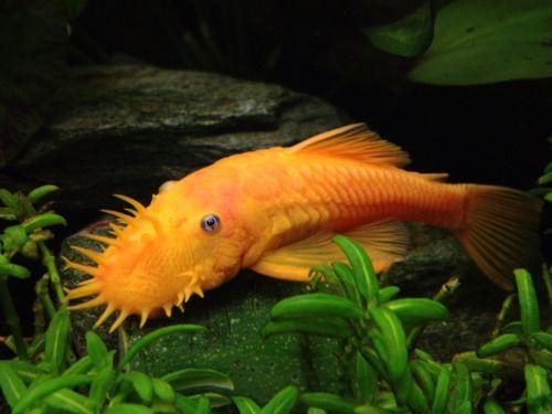 Gold Bristle Nose Pleco Google Search Aquarium Fish Freshwater Fish Aquarium Catfish