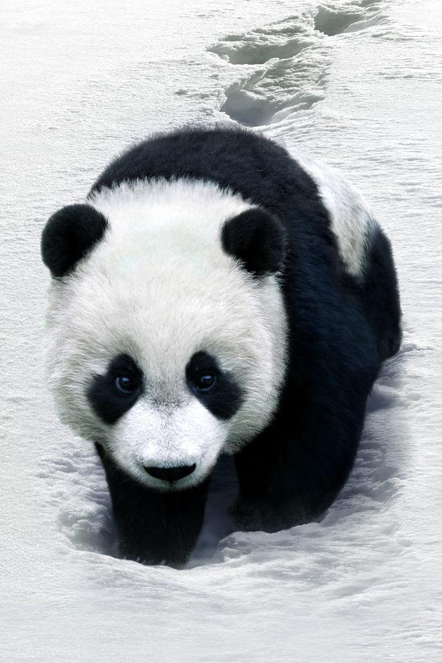 Panda Bear Iphone Wallpaper Panda Bear Animals Animals Beautiful