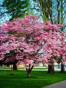 Cherokee Brave Dogwood Tree Fast Growing Shade Trees Pink Dogwood Tree Dogwood Trees