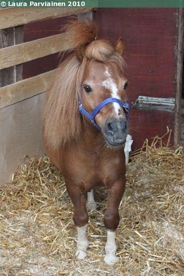 Falabella stallion Looking Glass Eva's Boy