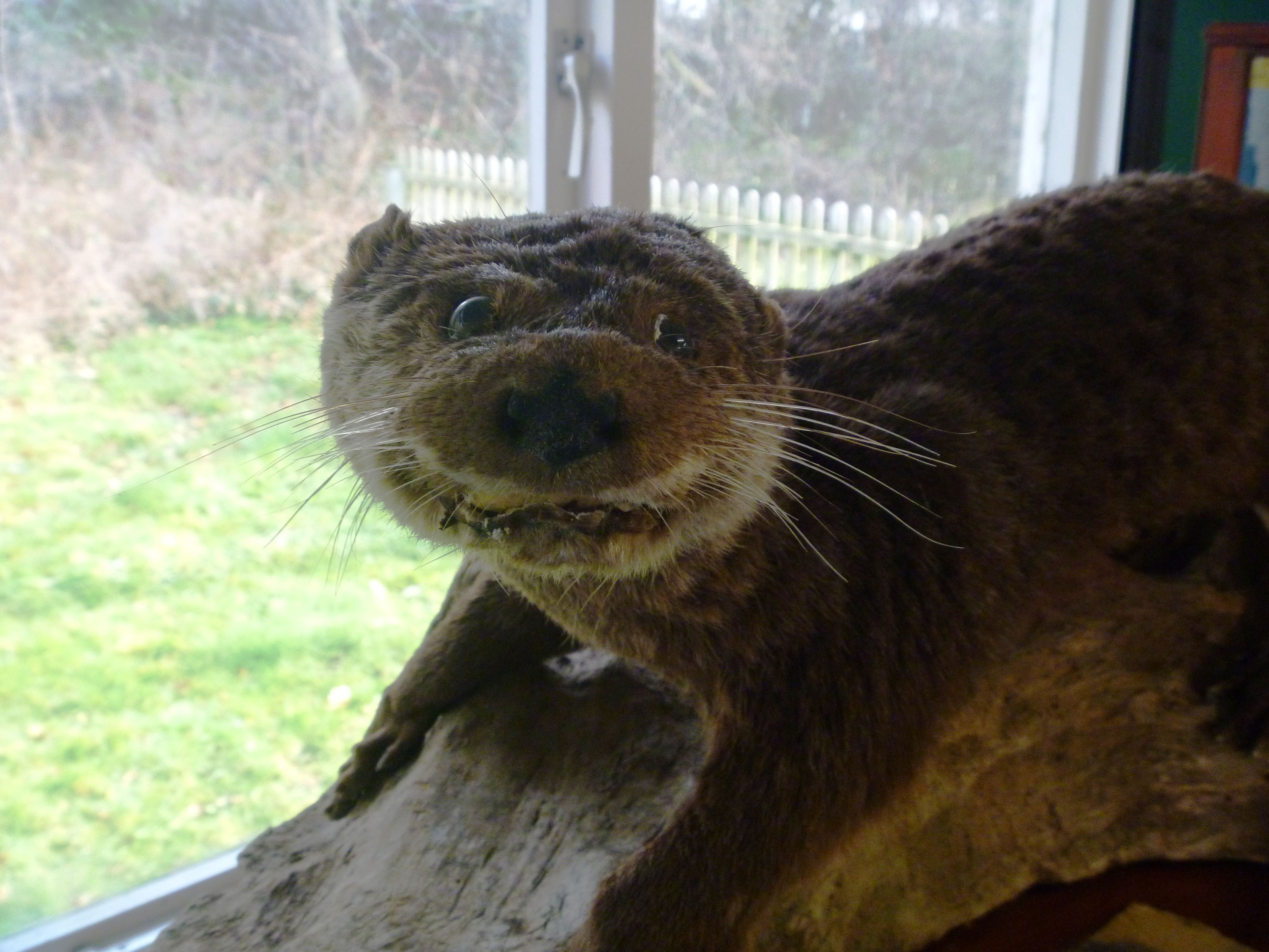 You Were Once An Otter Giggles And Cackles Bad Taxidermy