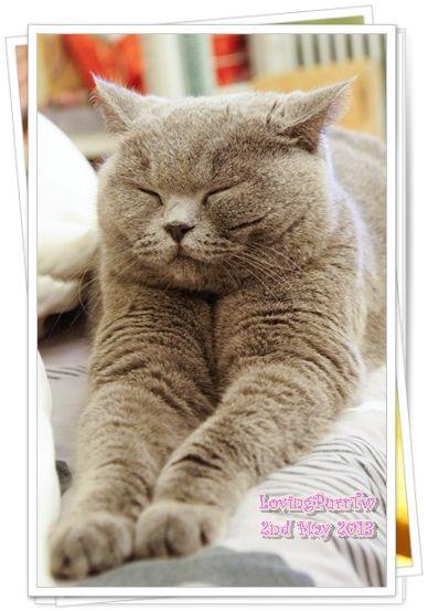Blue British Shorthair Female British Shorthair British Blue Cat British Shorthair Cats