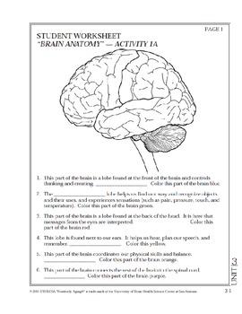 Brain Anatomy Worksheet - worksheet