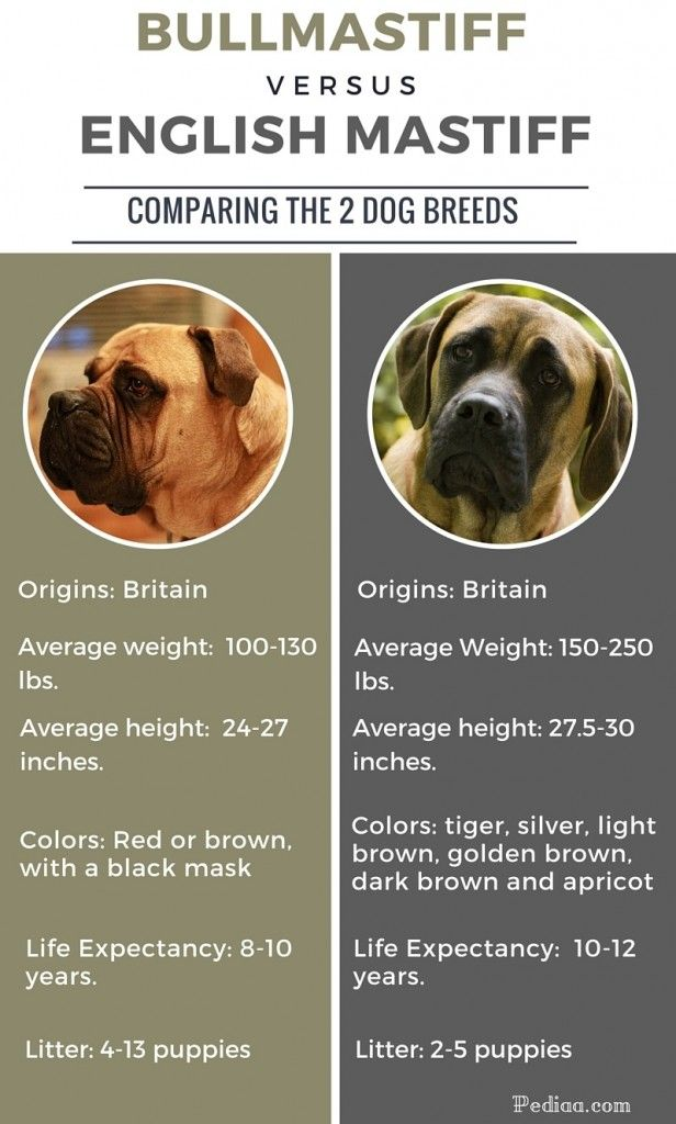 Difference Between Bullmastiff And English Mastiff Infographic