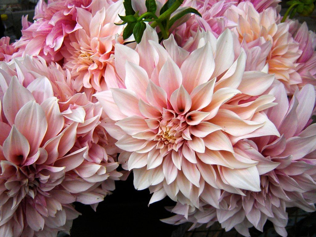Dahlia cafe au lait jello mold farm cafe au lait for Flowers that look like dahlias