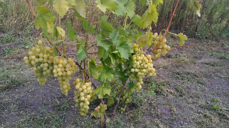 картинки куст винограда противном