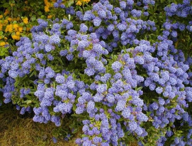 Buy flowering shrubs at tn tree farm nursery flowering for Blue flowering bush
