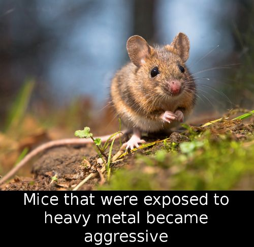 Did You Know That Mice That Were Exposed To Heavy Metal Became Animals Mice Control Cute Animals