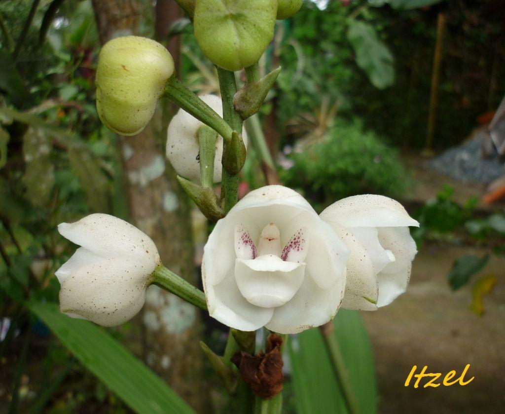 Orqudea Flor Del Espritu Santo Panama; Mi Patria