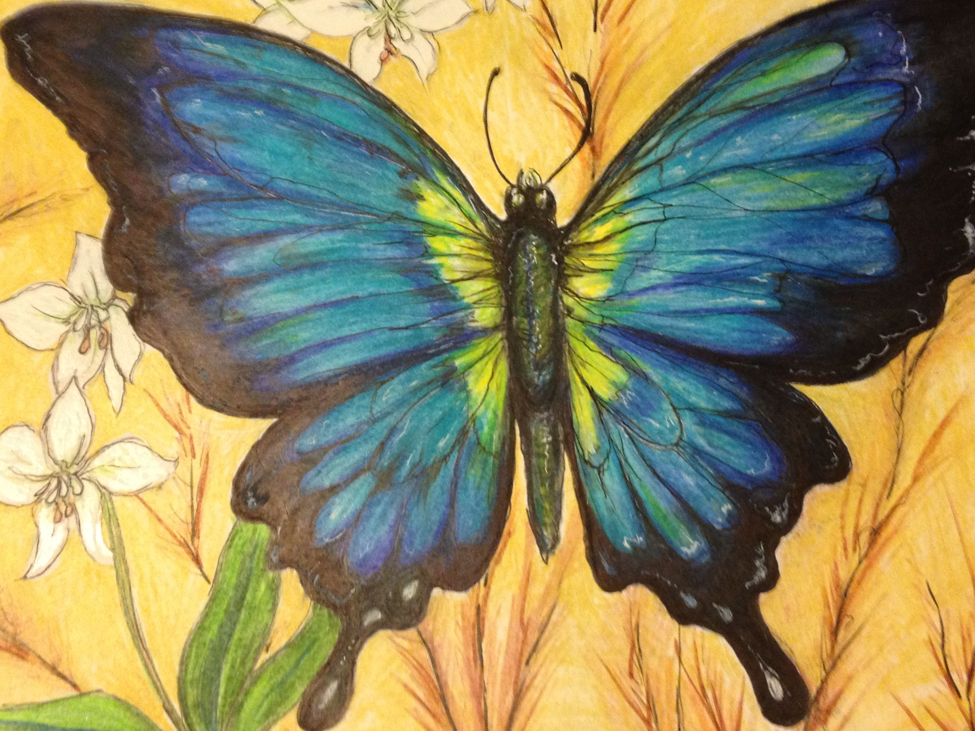 prismacolor pencil butterfly drawing drawing pinterest