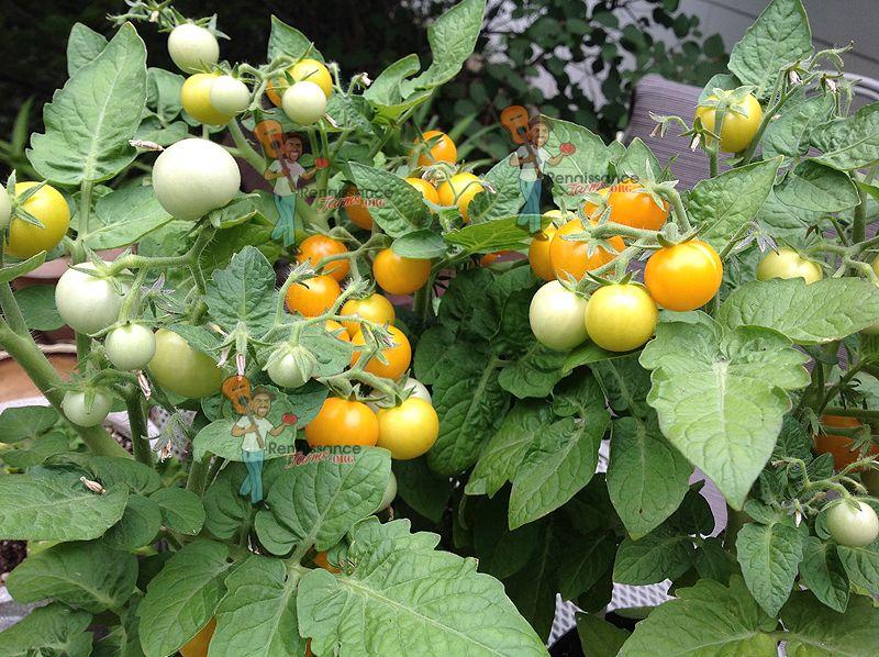 Orange Hat Micro Dwarf Tomato Heirloom Tomato Seeds 400 x 300