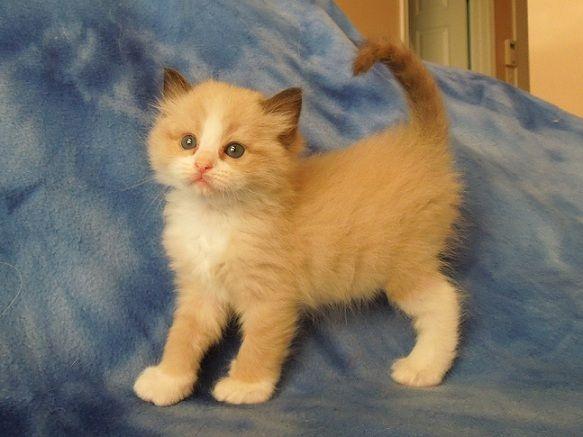 Orange Ragdoll Kittens