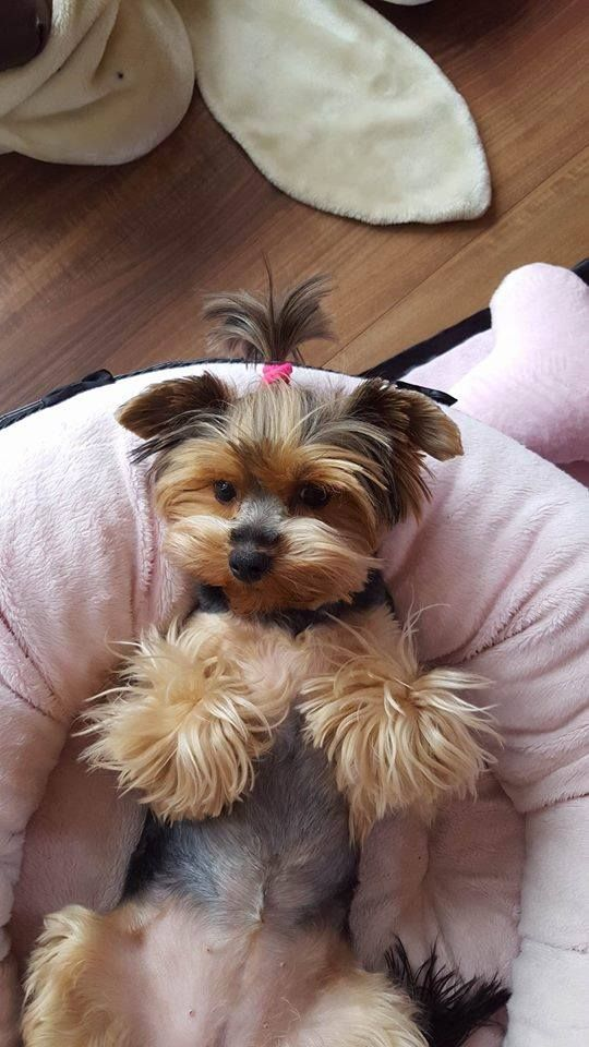 Pin By Teri Lacey On My Yorkie Buddy And Other Precious Pets Yorkie Teacup Puppies Yorkshire Terrier