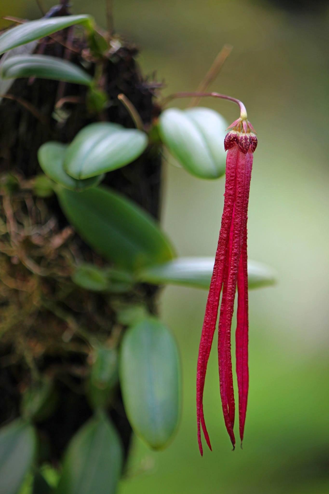 Bulbophyllum Treschii Cool Plants Blossom Flower Orchids