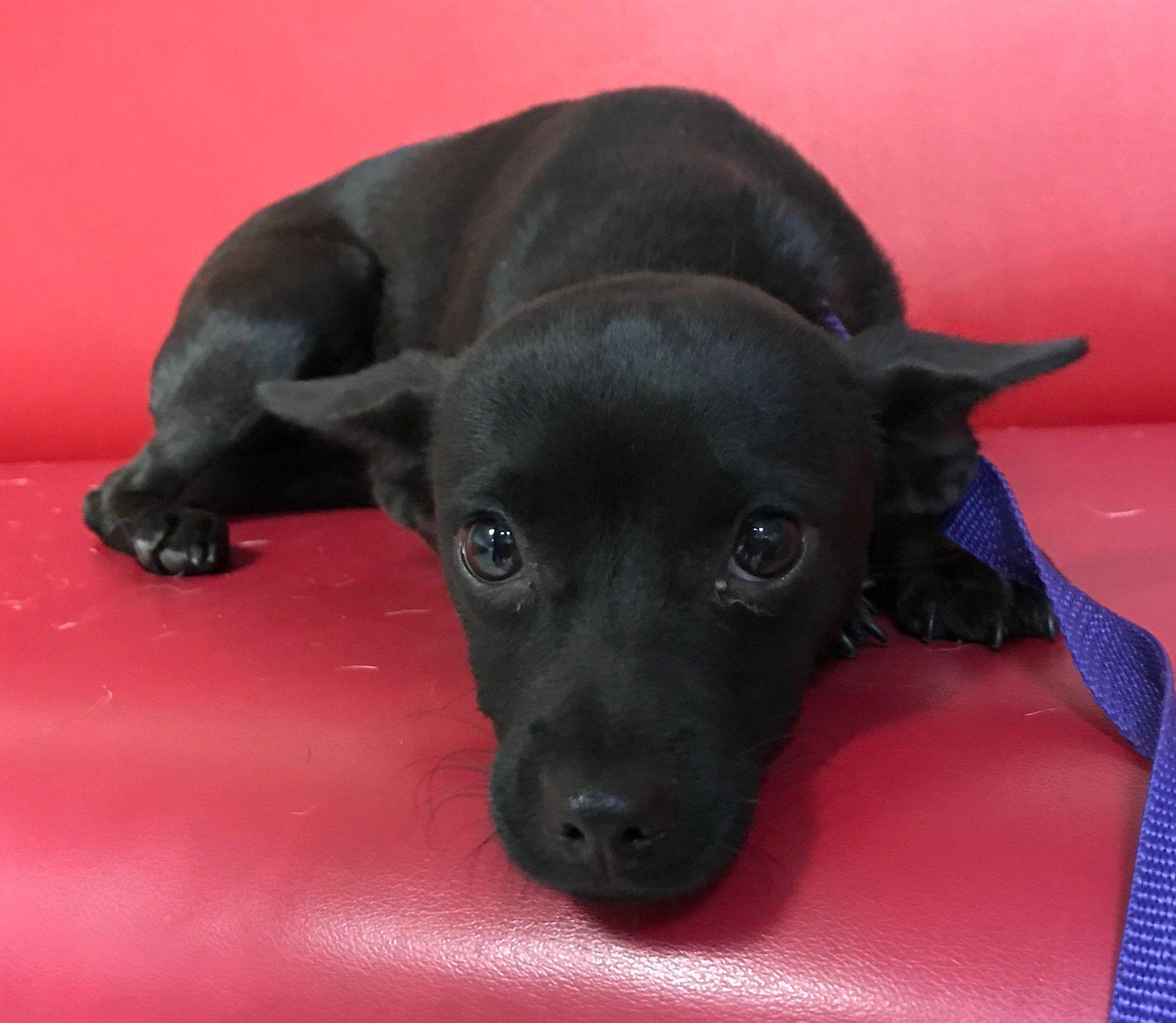 Craigslist Los Angeles Pets Chihuahua - Wayang Pets