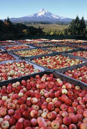 Love Oregon Apple Harvest Near Hood River Oregon So