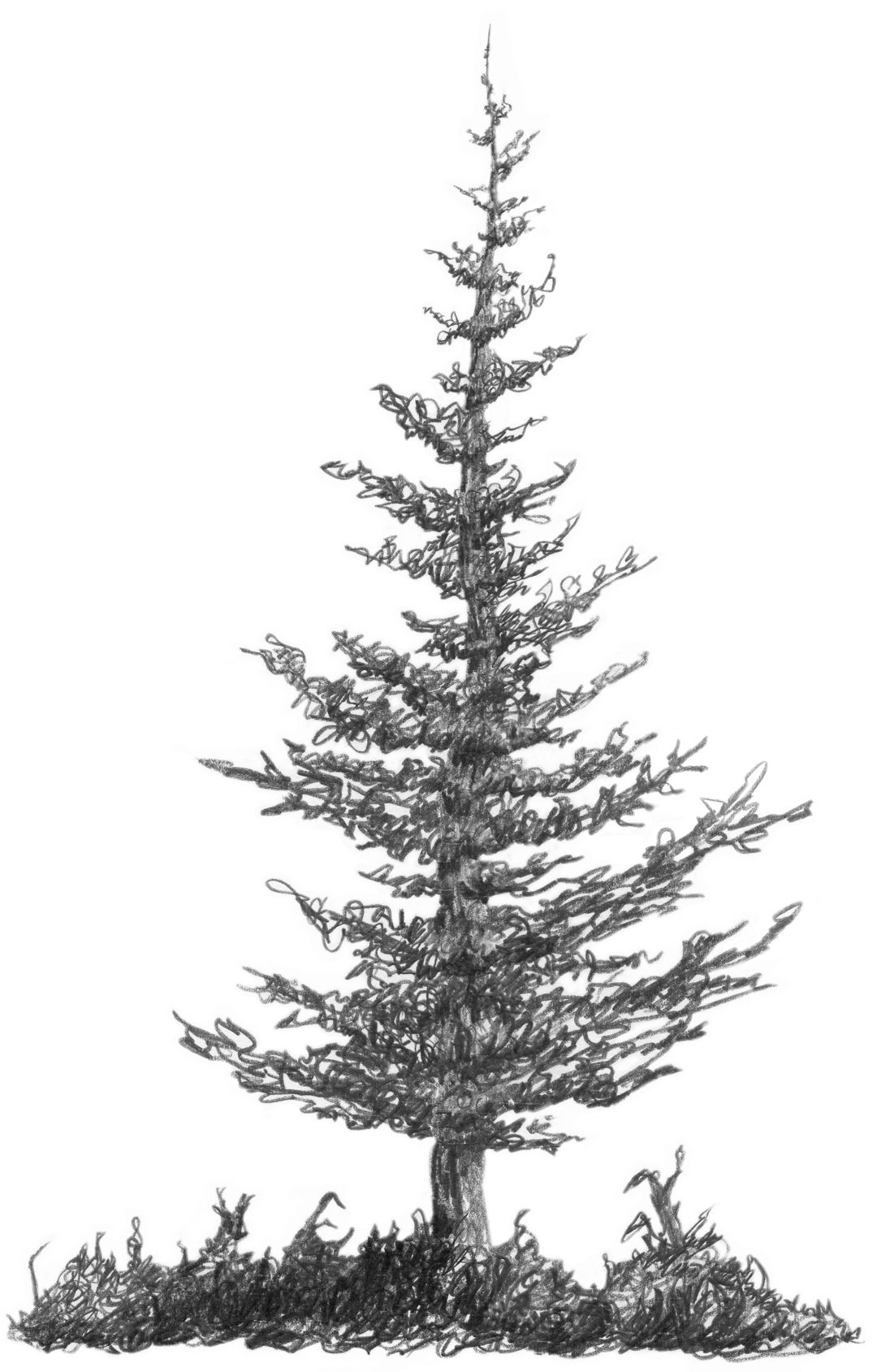 Figure 17 Pine tree drawing, Tree drawings pencil