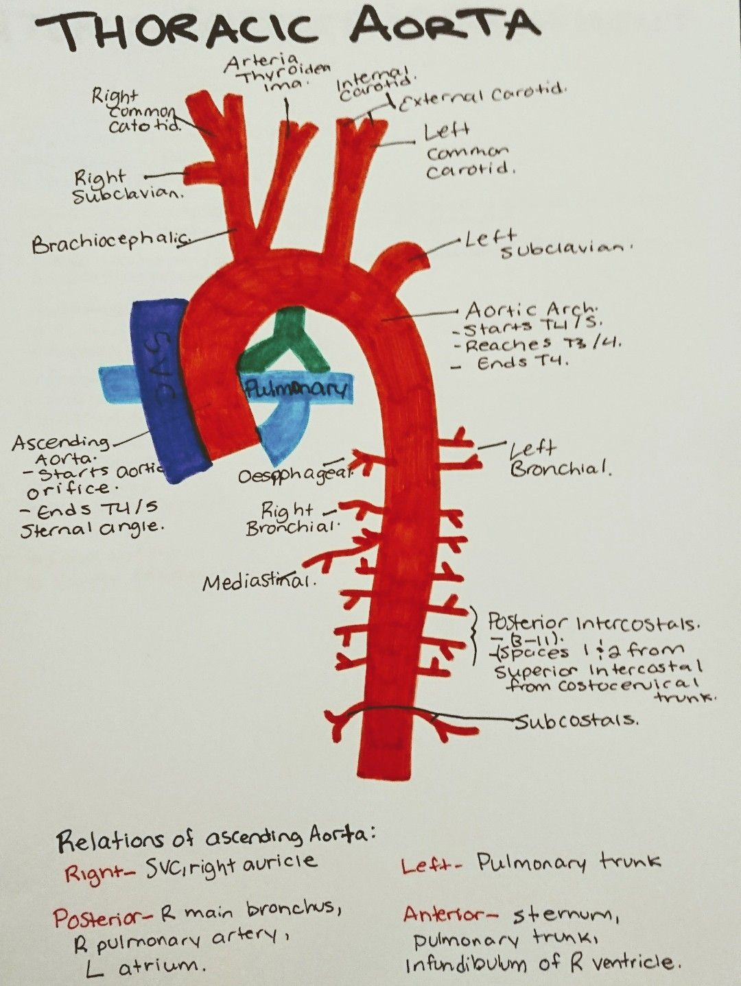 Instant anatomy - Thorax - vessels - arteries - arch of aorta | Med ...