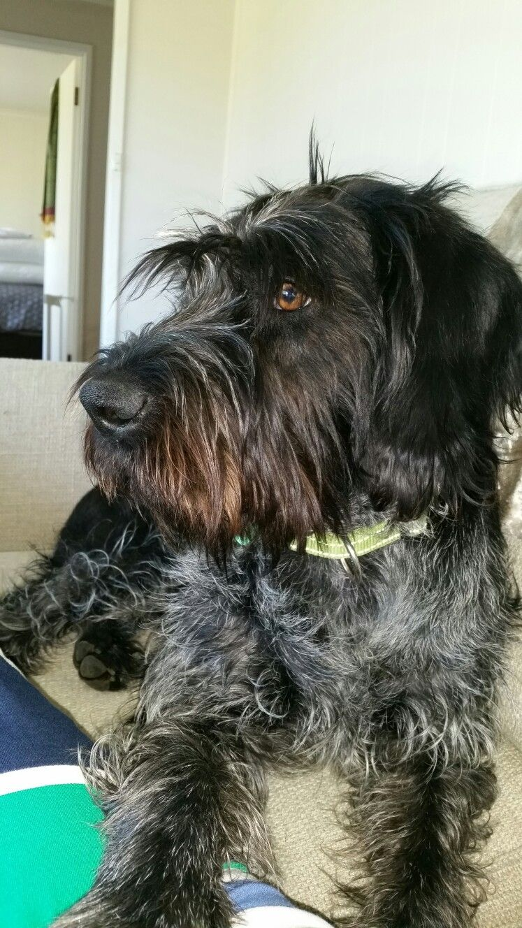 My scruffy black and white German wirehaired pointer, \