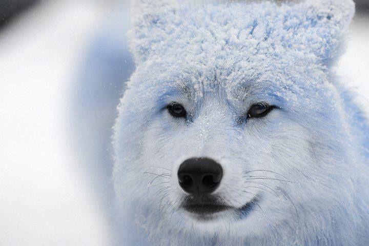beauté | Animaux, Felin, Loup