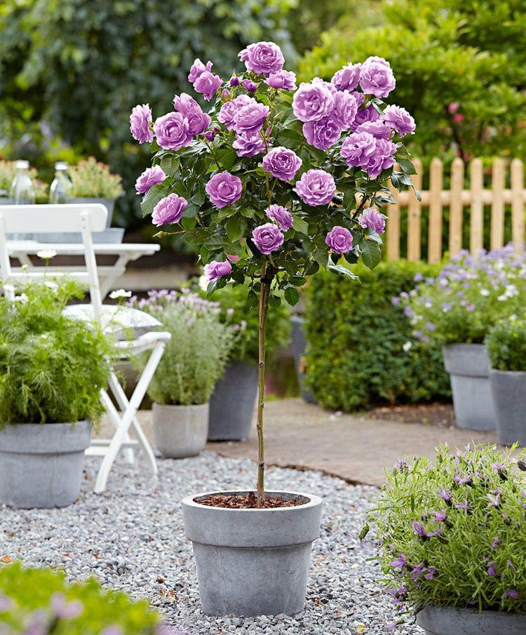 Rose Hochstamm Zuchten Lila Farbe Garten Kubelpflanze Pflanzen Rosen Pflanzen Gartenpflanzen