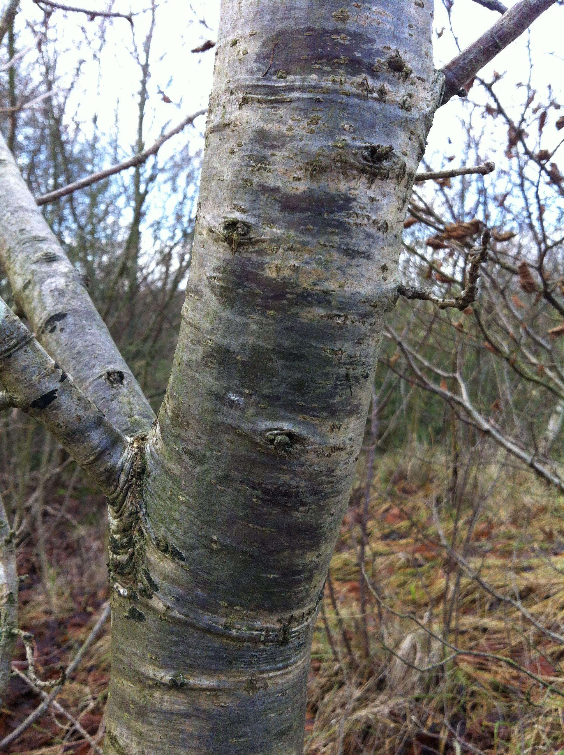 Lovely Silver Grey Bark Tree Tree Bark Plants