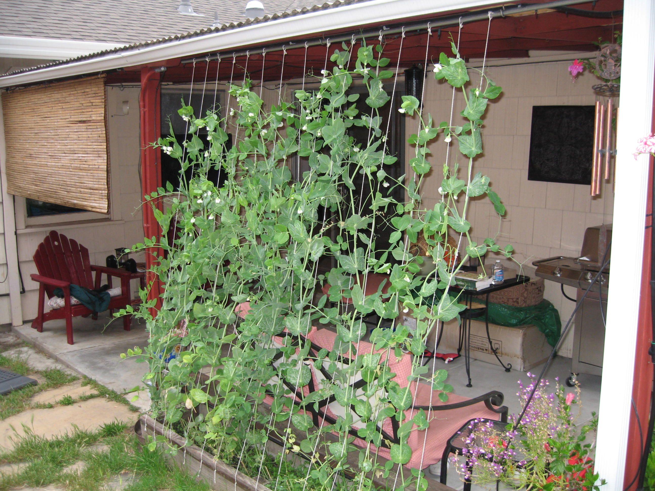 37 best karen u0027s potatoes u0026 peas images on pinterest gardening