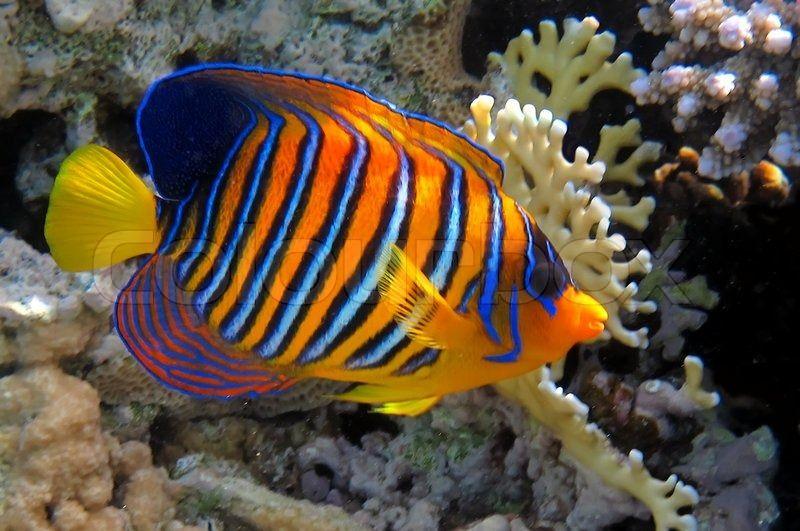 Regal Angelfish In The Red Sea Egypt Stock Photo Colourbox Sea Fish Angel Fish Marine Fish