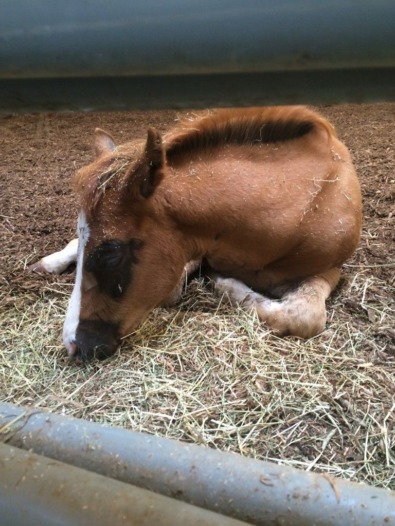 Sleeping foal (baby horse) at Farm Animal Days: North Carolina State University