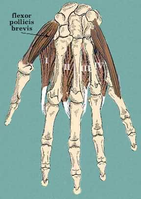 Flexor Pollicus brevis  Flexes the thumb at the MCP joint. It is innervated by the recurrent median nerve.