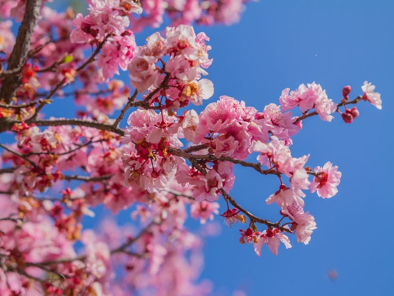 How To Grow Cherry Blossoms At Home Cherry Blossom Tree How To Grow Cherries Blossom Trees