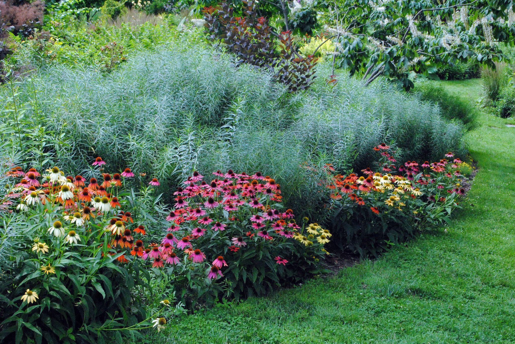 Coneflower Evan Saul And Amsonia Purple Plants Plants Native